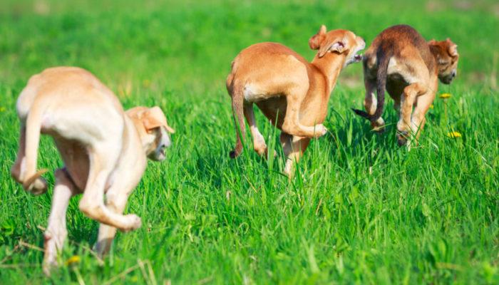 3 Rennende Hunde von hinten in Grün